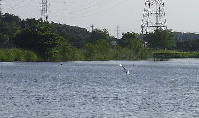 栃木県小山市 大沼親水公園(大沼ため池)白鳥
